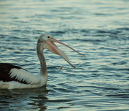 Swimming pelicans catching food at sunset. Swimming pelican bird catching food at sunset Royalty Free Stock Images