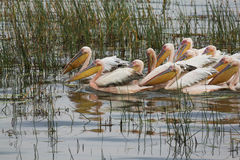 Swimming pelicans Royalty Free Stock Photography