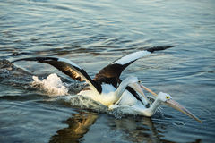 Swimming pelicans at sunset fighting. Swimming Pelican birds fighting together.  Maybe they are playing Stock Image