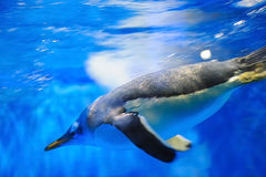 Swimming penguin. Motion blurred penguin swimming in the water Stock Image