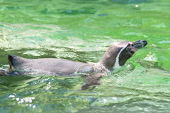 Swimming Penguin Stock Photography