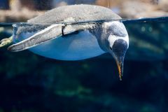 Swimming penguin Stock Photo