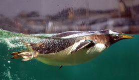 Swimming penguin Stock Image
