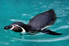 Swimming penguin. In blue water royalty free stock photos