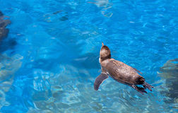 Swimming Penguin Royalty Free Stock Photography