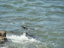 Swimming penguin. African penguin wildlife Royalty Free Stock Photography