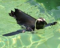 Penguin. Swimming penguin at mystic aquarium royalty free stock image