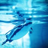 Swimming Penguin. Penguin swimming in transparent water - underwater view Royalty Free Stock Images