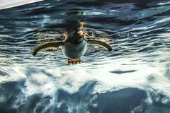 Swimming Floating Penguin Wildlife Animals royalty free stock photography