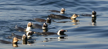 Swimming penguins. The African penguin (Spheniscus demersus) Royalty Free Stock Images