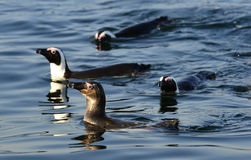 Swimming penguins. The African penguin (Spheniscus demersus) Stock Image