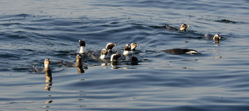 Swimming penguins. The African penguin (Spheniscus demersus) Royalty Free Stock Photo