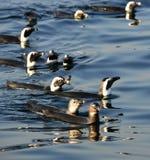 Swimming penguins. The African penguin (Spheniscus demersus) Stock Photography