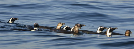Swimming penguins. The African penguin (Spheniscus demersus) Royalty Free Stock Image