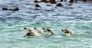 Swimming penguins. Royalty Free Stock Photos