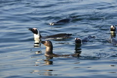 Swimming penguins. Royalty Free Stock Image
