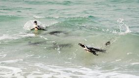 Swimming penguins. Royalty Free Stock Photo