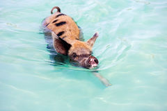 Swimming pig on Exuma island Royalty Free Stock Images