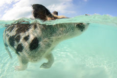 Swimming pig. Over-under of spotted pig swimming at Pig Beach, Bahamas Royalty Free Stock Image