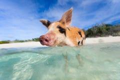 Swimming piglet on Exuma island Royalty Free Stock Photography
