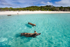 Swimming pigs of Exuma Stock Image