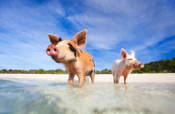 Swimming pigs of Exuma Stock Photos