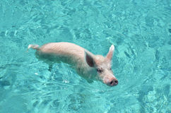 Swimming pigs of Exuma Cays, Bahamas Royalty Free Stock Image