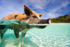 Swimming Pigs Of Exumas Royalty Free Stock Photography