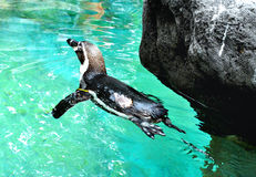 Swimming pinguin Royalty Free Stock Image