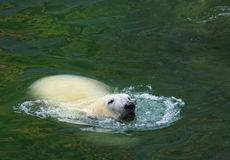 Swimming Polar Bear Stock Photo