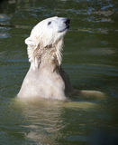 Swimming polar bear. In Berlin zoo Royalty Free Stock Images