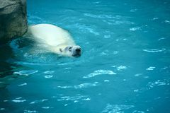 Swimming Polar Bear Royalty Free Stock Photos