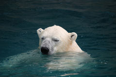 Swimming polar bear Stock Images