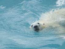 Swimming polar bear Royalty Free Stock Photography