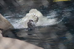 Swimming polar bear. Polar bear swimming in water Royalty Free Stock Images