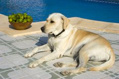 Swimming pool. A Dog resting next to a swimming pool Stock Images