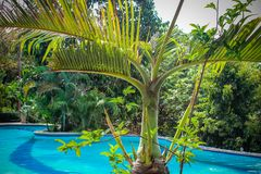 Swimming pool of luxury hotel behind the palms , Royalty Free Stock Image