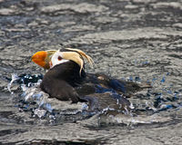 Swimming Puffin Stock Image