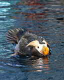 Swimming Puffin Stock Photography