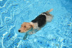 Swimming puppy. A young dog swimming in a clean, blue swimming pool on a hot summers day Stock Photo