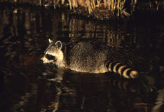Swimming Raccoon. A raccoon swimming in shallow water Royalty Free Stock Photos