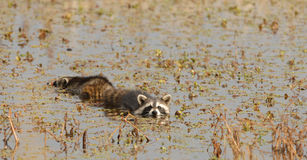 Swimming Raccoons Royalty Free Stock Photos