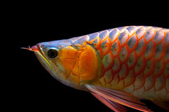 Swimming Red Arowana isolated on Black Background. Swimming Red Arowana isolated Black Background stock images