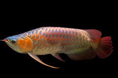 Swimming. Red Arowana isolated on Black Background royalty free stock images
