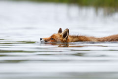 Swimming red fox Stock Photography