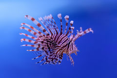 Swimming red lionfish. Pterois miles. dangerous, extraordinary, poisonous ocean fish. blue background. soft focus Stock Image