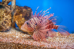 Swimming red lionfish. Pterois miles. dangerous, extraordinary, poisonous ocean fish. blue background. soft focus Royalty Free Stock Image