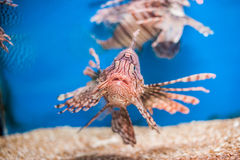 Swimming red lionfish. Pterois miles. dangerous, extraordinary, poisonous ocean fish. blue background. soft focus Royalty Free Stock Images