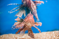 Swimming red lionfish. Pterois miles. dangerous, extraordinary, poisonous ocean fish. blue background. soft focus Stock Photos