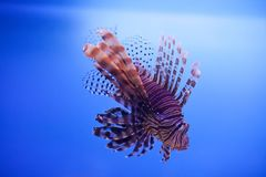 Swimming red lionfish. Pterois miles. dangerous, extraordinary, poisonous ocean fish. blue background. soft focus, copy. Swimming red lionfish. Pterois miles Royalty Free Stock Image